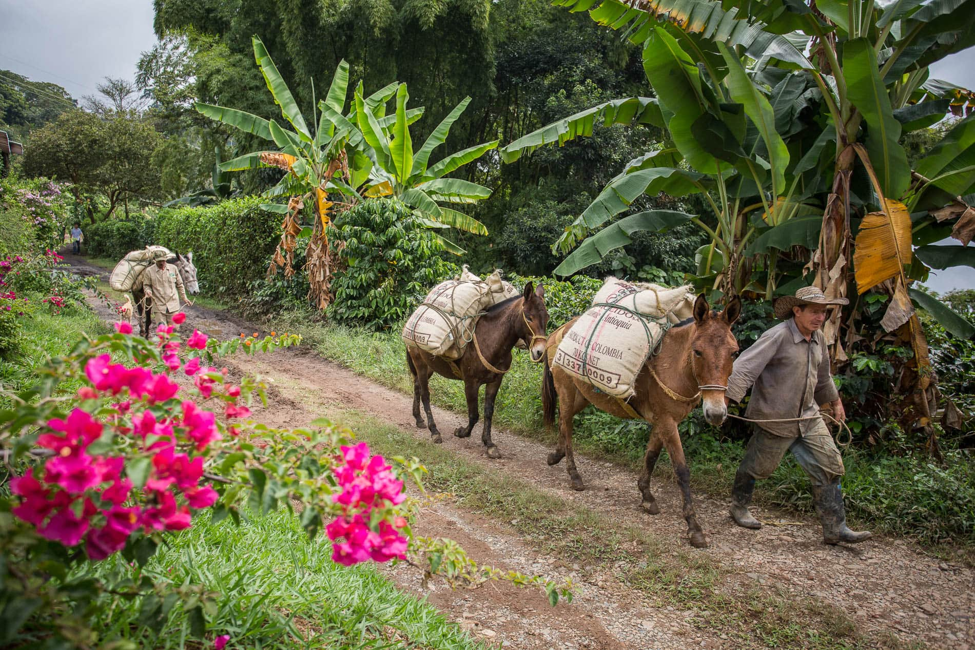 Oro Molido. Antioquia, Colombia.